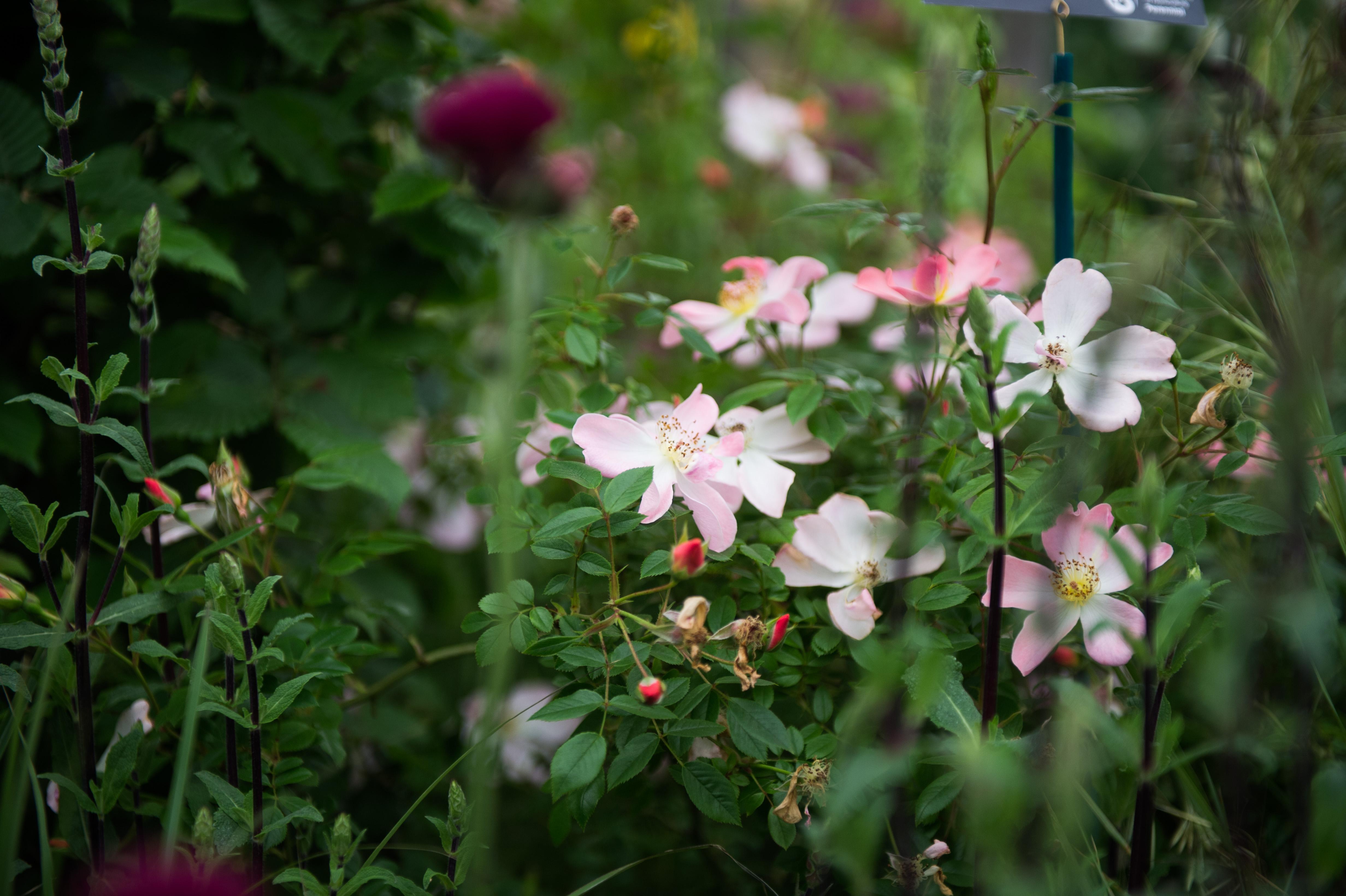 The Perennial Lifeline Garden – RHS Chelsea Flower Show 2019